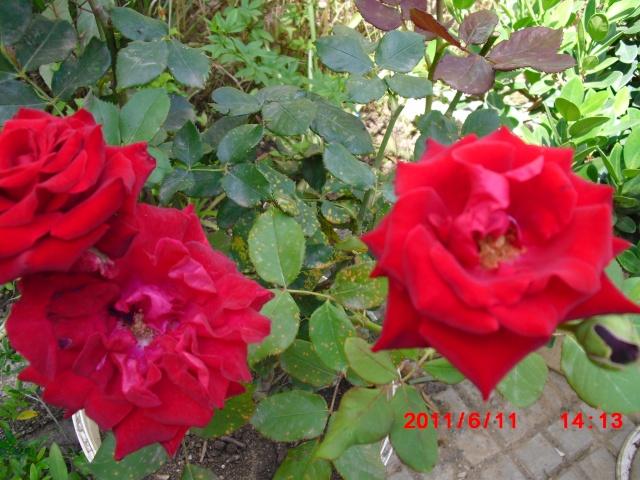 le royaume des rosiers...Vive la Rose ! - Page 2 Cimg1117