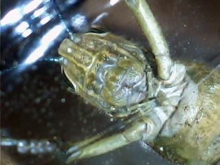 les sauterelles Criq_310