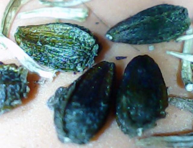Répertoir des graines que vous récoltez... Graine12