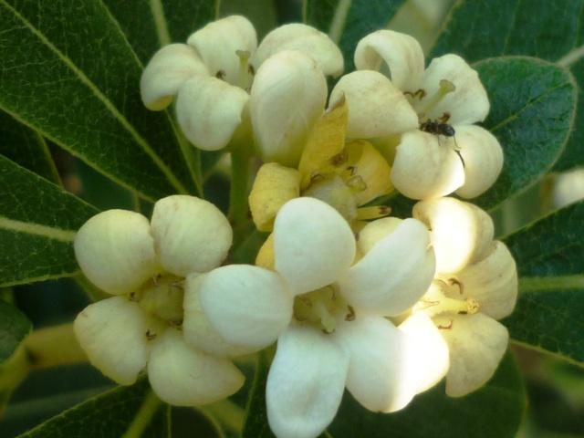 Pittosporum- un vert tendre  et une belle floraison P1020327