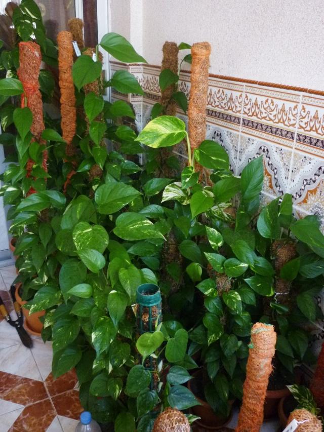 Les pothos ou scindapsus P1020332