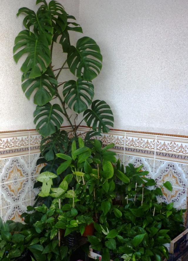 Les pothos ou scindapsus P1020334