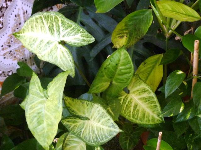 Les pothos ou scindapsus P1020335
