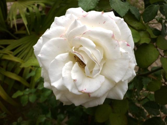 le royaume des rosiers...Vive la Rose ! P1020517