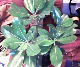 Pittosporum- un vert tendre  et une belle floraison Pit_310