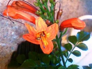 Floraisons du mois de juin Tecoma12