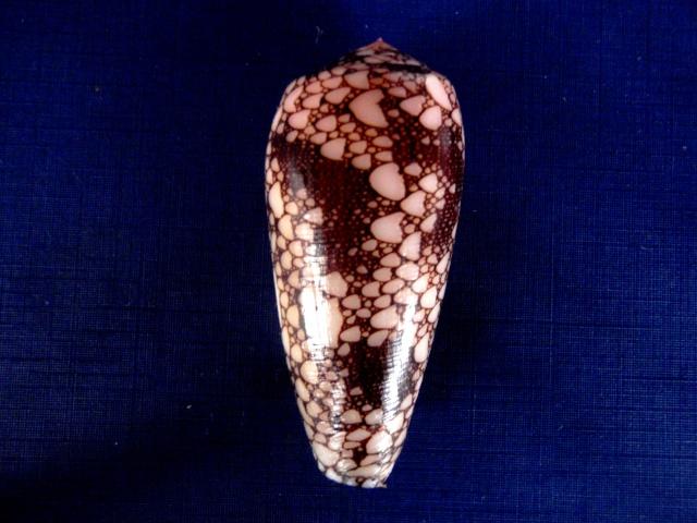 Conus (Darioconus) omaria      Hwass in Bruguière, 1792 P4270012