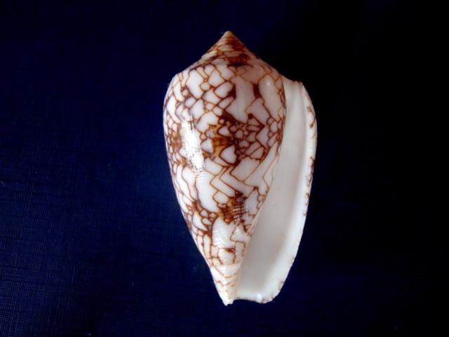 Conus textile - Les formes P4290011