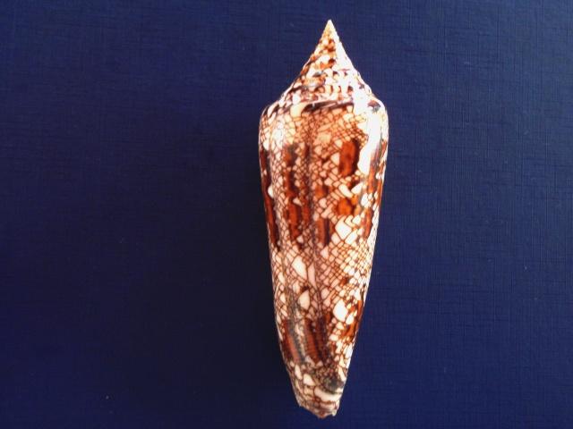 Conus (Cylinder) bengalensis   Okutani, 1968 P4300013