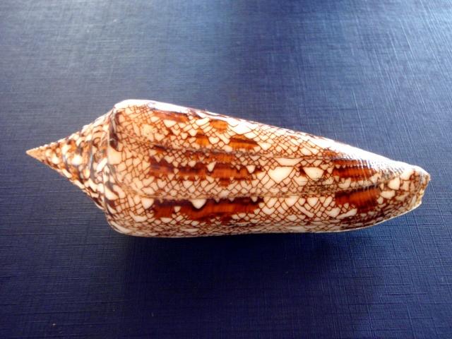 Conus (Cylinder) bengalensis   Okutani, 1968 P4300015