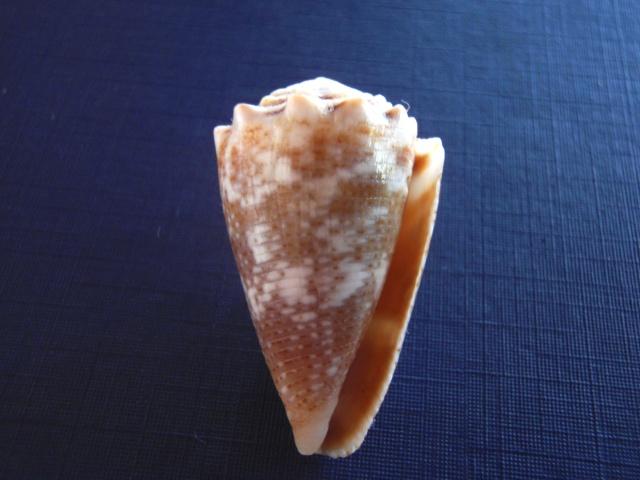 Conus (Virroconus) encaustus Kiener, 1845 P5030011