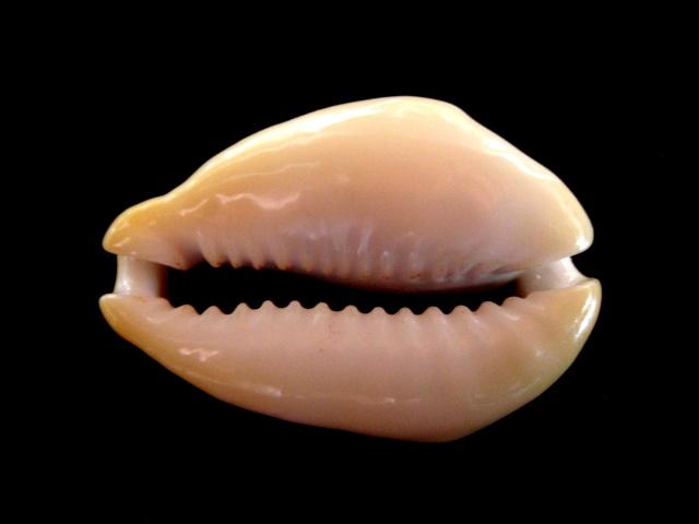 Monetaria icterina - Lamarck, 1810 voir Monetaria moneta - (Linnaeus, 1758) P5070020