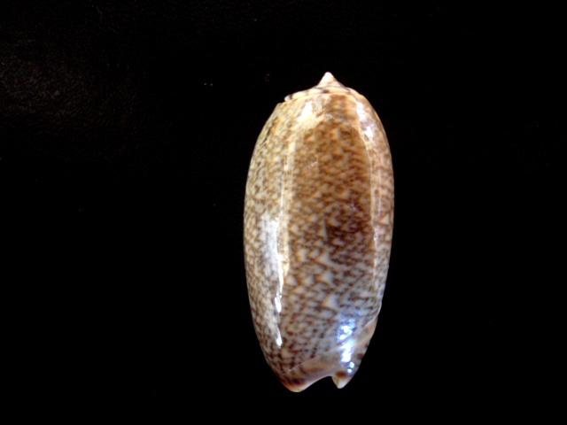 Viduoliva reticulata f. viridescens (Marrat, 1870) P5080012