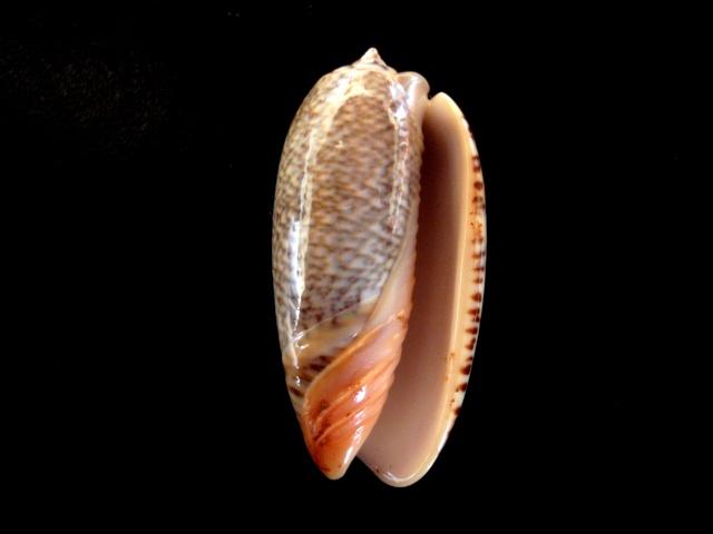 Viduoliva reticulata f. viridescens (Marrat, 1870) P5080013