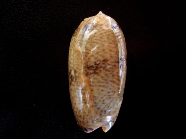 Viduoliva reticulata f. viridescens (Marrat, 1870) P5080014