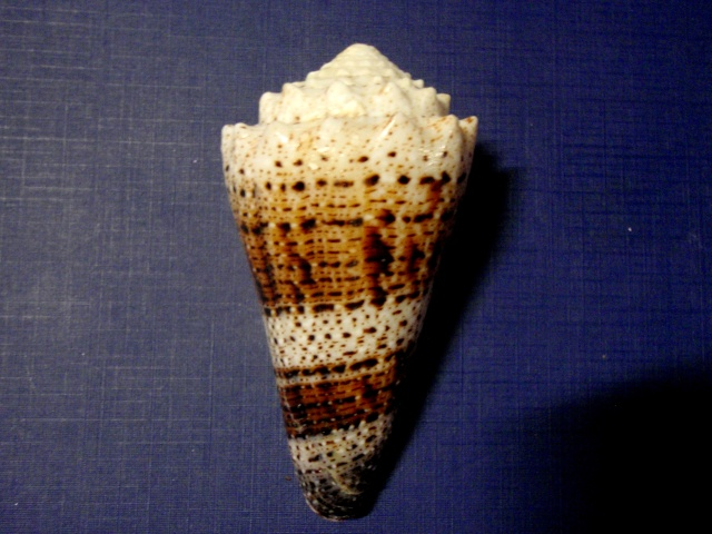 Conus (Stephanoconus) imperialis   Linnaeus, 1758 P5110011