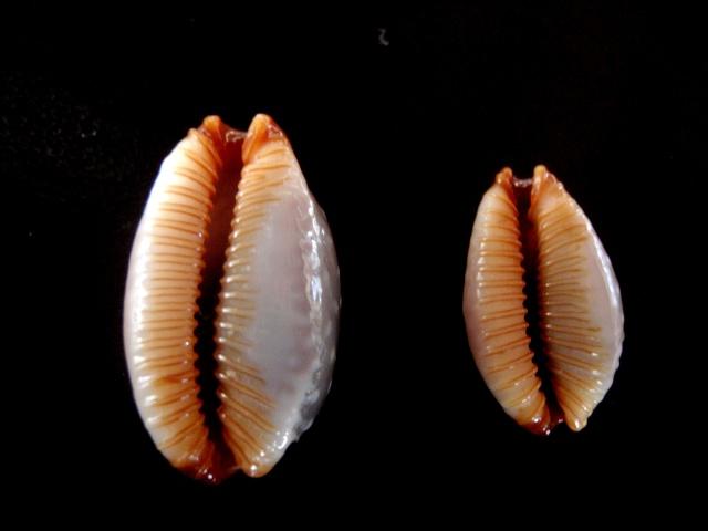 Staphylaea limacina facifer - (Iredale, 1935) P5200012