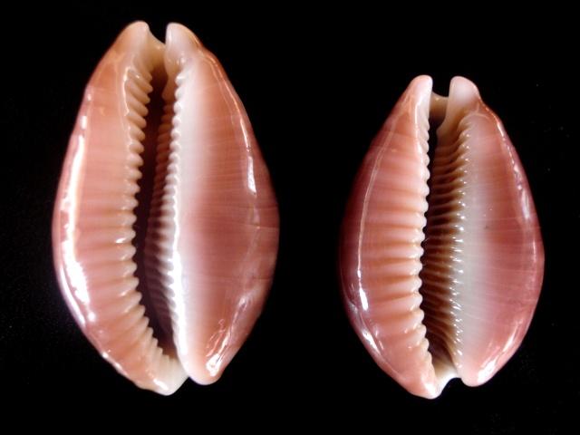 Lyncina vitellus dama - Perry, 1811 accepted as Lyncina vitellus (Linnaeus, 1758)  P5200018