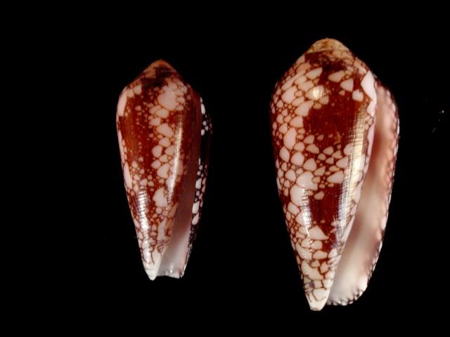 Conus (Darioconus) episcopatus   da Motta, 1982  P5210014