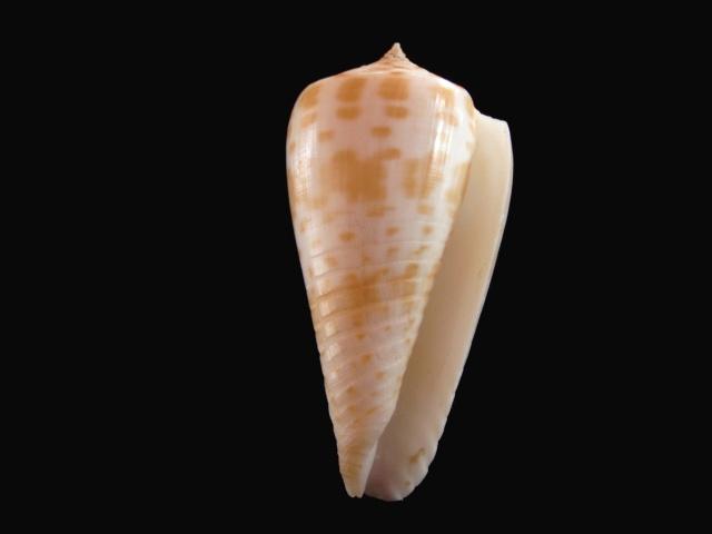 Conus (Phasmoconus) inscriptus  Reeve, 1845 P5280028
