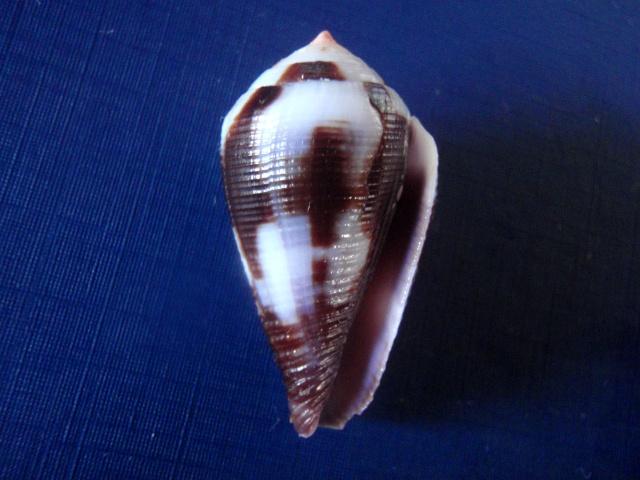 Conus (Leporiconus) scabriusculus  Dillwyn, 1817 P6050010