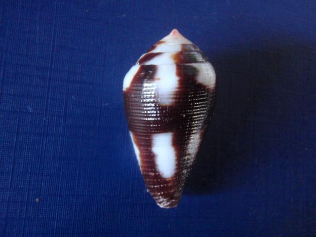 Conus (Leporiconus) scabriusculus  Dillwyn, 1817 P6050011