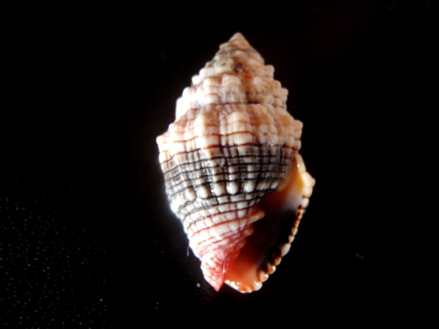 Orphanopusia patriarchalis - (Gmelin, 1791) P6110014