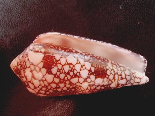 Conus (Darioconus) magnificus   Reeve, 1843 P6110018