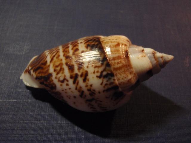 Gibberulus gibberulus gibbosus - (Röding, 1798) P9160012