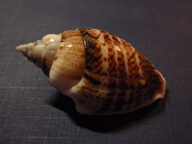 Gibberulus gibberulus gibbosus - (Röding, 1798) P9160013