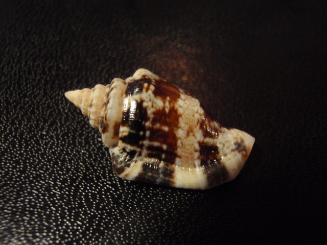 Canarium mutabile - (Swainson, 1821) Pa070012