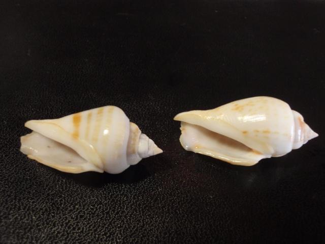 Gibberulus gibberulus gibbosus - (Röding, 1798) Pa070019