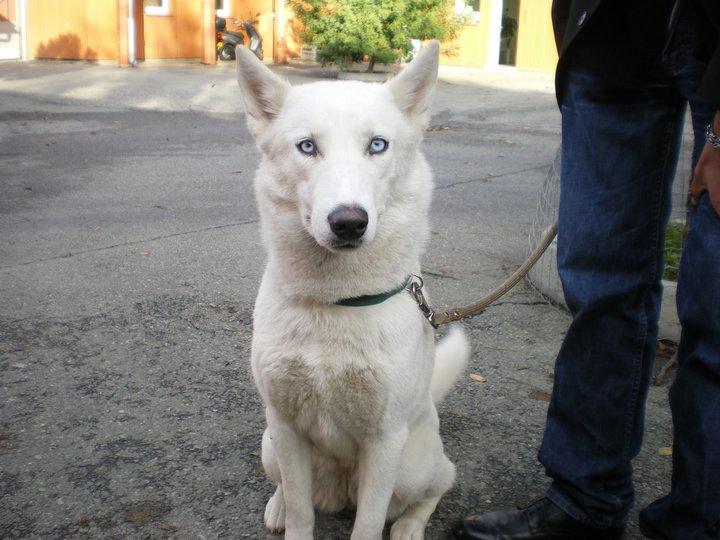 EINA husky (f) 1 an (REF31) Eina10