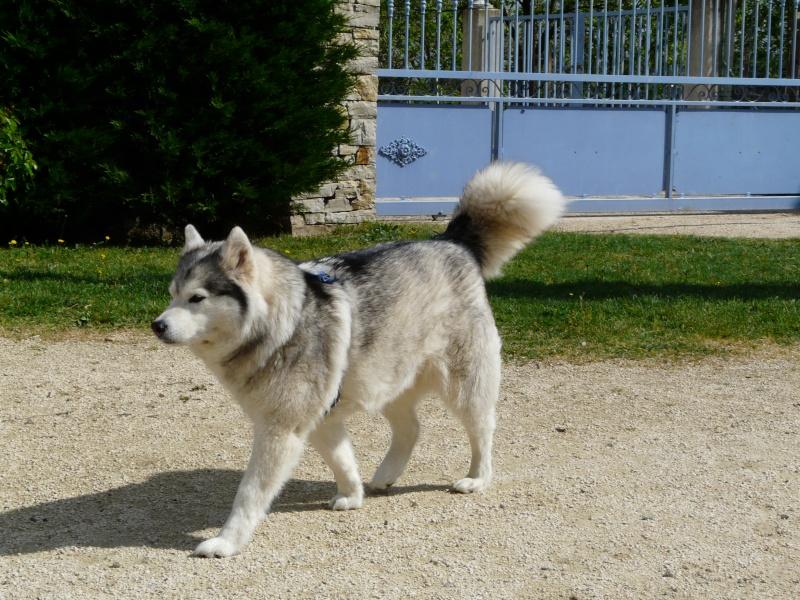 Sounde husky femelle de 7 ans ancienne maltraitée dpt 13 DECEDEE - Page 3 P1080313