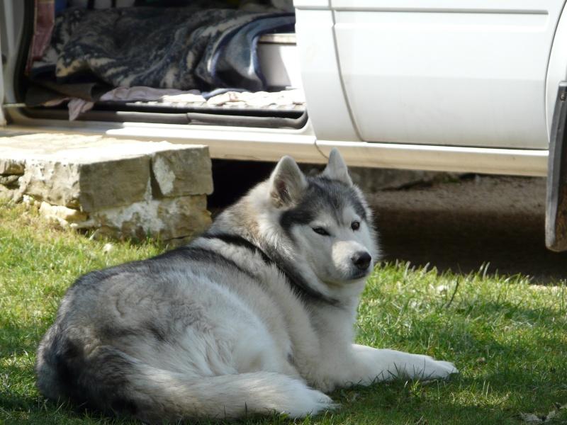 Sounde husky femelle de 7 ans ancienne maltraitée dpt 13 DECEDEE - Page 3 P1080317