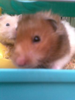 Mis hamsters Patric15