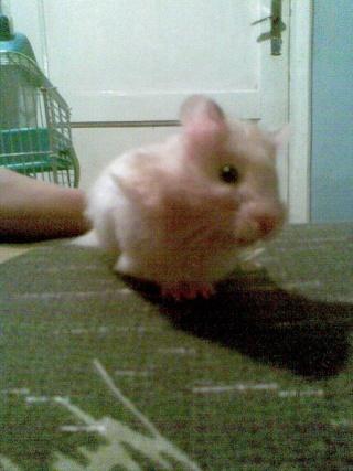 Mis hamsters Patric16