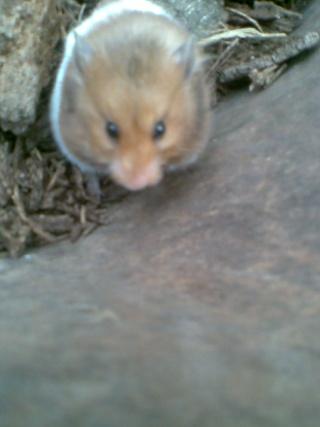 Mis hamsters Patric17