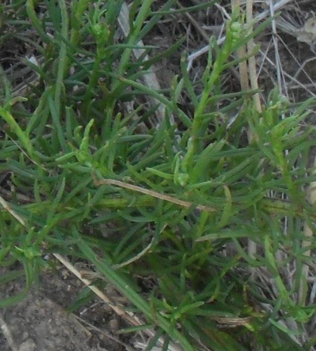 Késako? 1 : Inula crithmoides 001_610