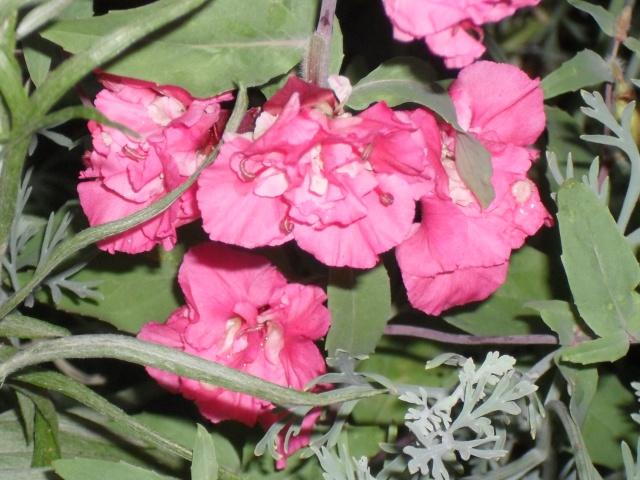 couleur rose qui suis-je : Clarkia 00417
