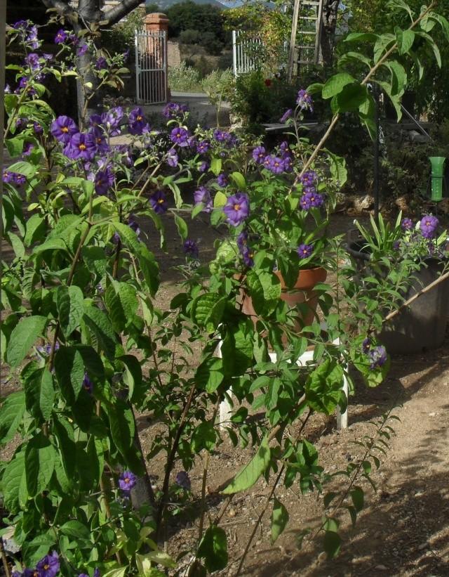 Solanum rantonetti - Page 2 00518