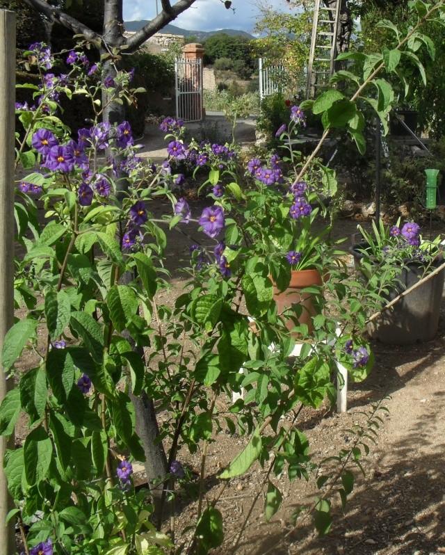 Solanum rantonetti - Page 2 00615