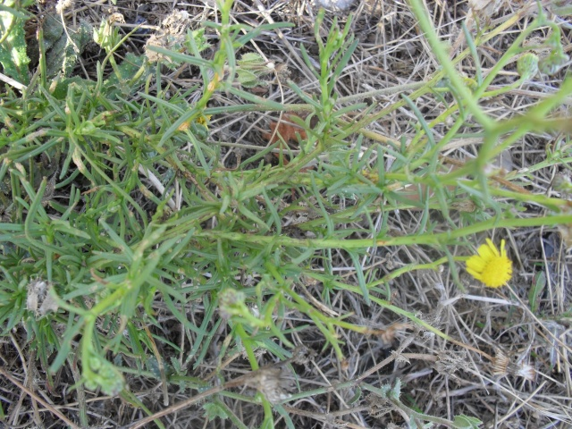Késako? 1 : Inula crithmoides 00718