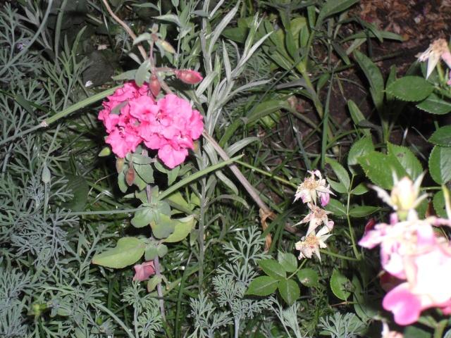 couleur rose qui suis-je : Clarkia 00722