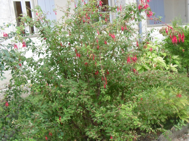Fuchsia 00815