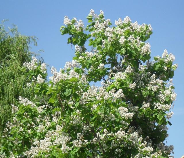 un arbre tres grand un catalpa 01021