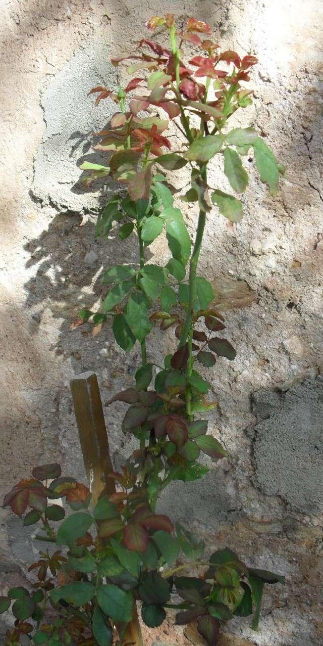 Déplanter des rosiers 01110