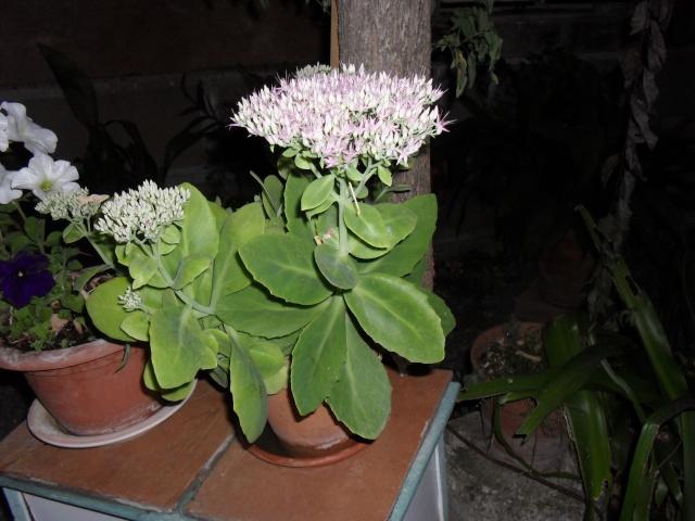 Sedum spectabile, Hylotelephium spectabile 01710