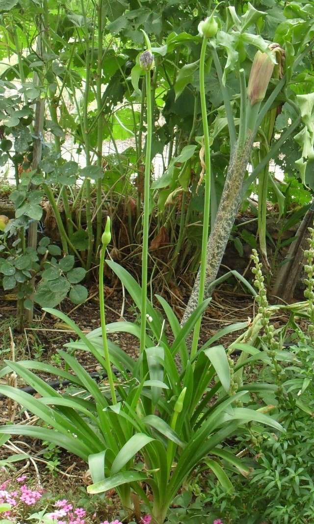 mes Agapanthes - Page 2 02514