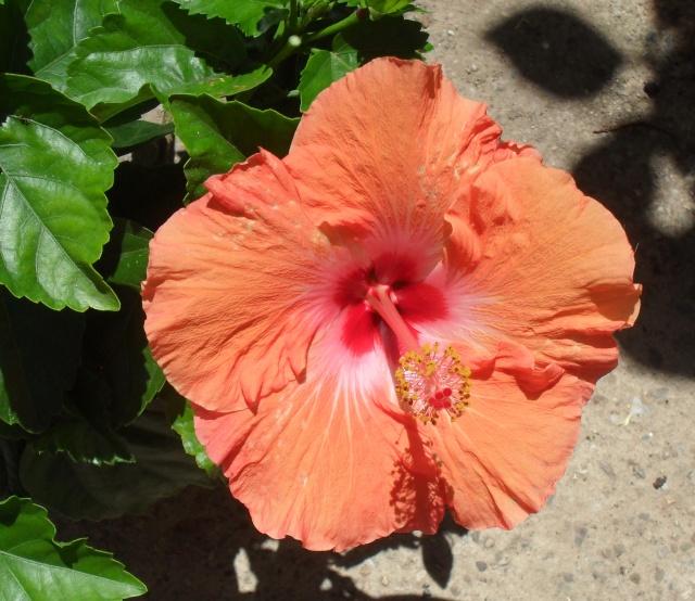 Hibiscus 044_310